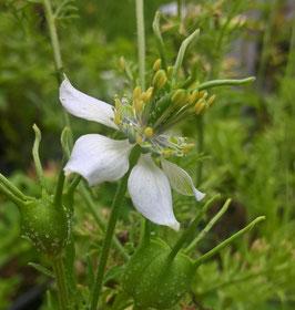 Schwarzkümmel - Nigella sativa (Pflanze)