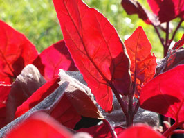 Rote Melde - Atriplex hortensis (Pflanze)