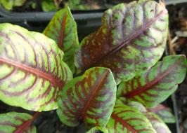 Blutampfer - Rumex acetosella (Pflanze)