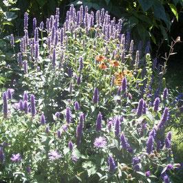 Anisagastache - Agastache anisata (Pflanze)