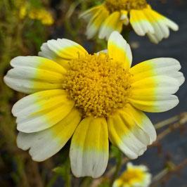 Speisechrysantheme - Chrysanthemum coronarium (Pflanze)