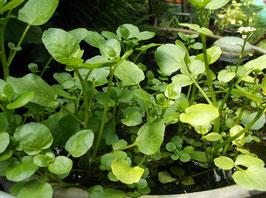 Brunnenkresse - Nasturtium off. (Pflanze)