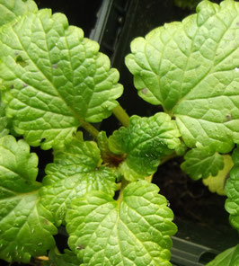 Zitronen Melisse - Melissa officinalis (Pflanze)