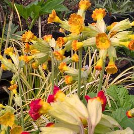 Schlüsselblume - Primula veris (Pflanze)