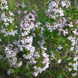 Französischer Thymian - Thymus vulg. `French Summer´ (Pflanze)