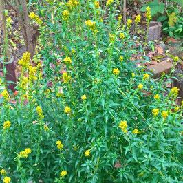 Anisgoldrute - Solidago odora (Saatgut)