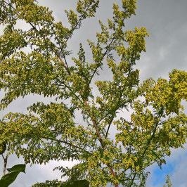 Einjähriger Beifuß - Artemisia annua (Pflanze)