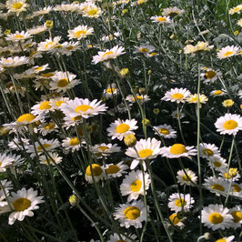 Hundskamille - Anthemis tinctoria `Souce Hollandaise´ (Pflanze)