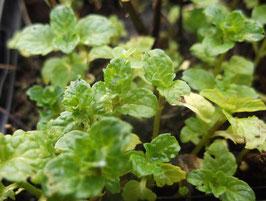 Marokkanische Minze - Mentha spicata var. crispa (Pflanze)