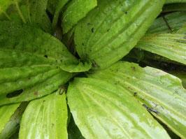 Mexikanischer Wegerich - Plantago subnuda (Pflanze)