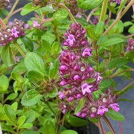 Sandthymian - Thymus serpyllum (Pflanze)
