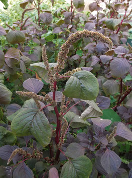 Blattamaranth `Roter Meier´ - Amaranthus lividus `Roter Meier´ (Pflanze)
