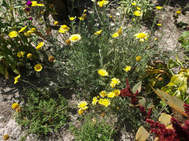 Färberkamille - Anthemis tinctoria (Saatgut)