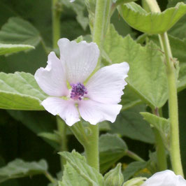 Eibisch - Althaea officinalis (Saatgut)
