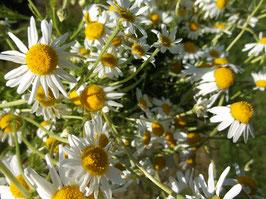 Duftrasen Kamille, Römische Kamille - Chamaemelum nobile (Pflanze)