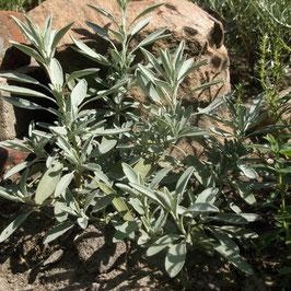 Honig- Salbei - Salvia nevadensis (Pflanze)