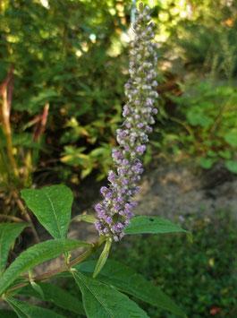 Chinesischer Gewürzstrauch - Elsholtzia stauntonii (Pflanze)