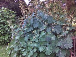 Federmohn - Macleaya cordata (Pflanze)