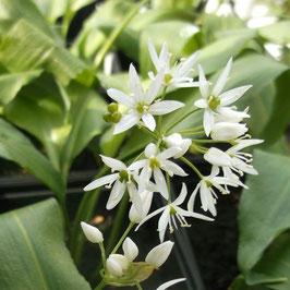Bärlauch - Allium ursinum (Pflanze)