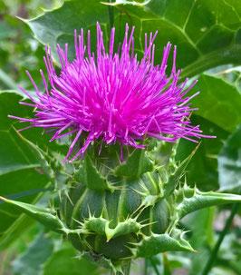 Mariendistel - Silybum marianum (Pflanze)