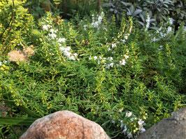 Kriechendes Berg Bohnenkraut - Satureja spicigera  (Pflanze)