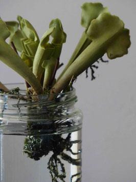 Succulent #80606