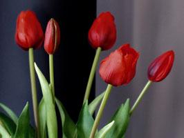 Botte de 4 grosses tulipes et 3 boutons Rouge