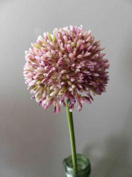 Allium rose pâle la tige de 44 cm