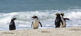 group of Fiordland crested penguins