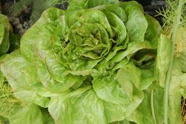 Salade Sucrine - la pièce