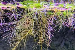 Muschelblume (Schwimmpflanze)