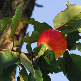 Sommermotiv - Apfel am Baum