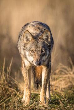 """Beamershow """"Auf den Spuren von Wildtieren in Finnland, Polen und Weissrussland"""" 90-100 Min"""