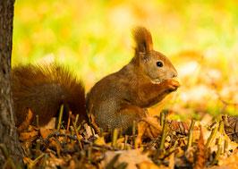 Eichhörnchen mit Nuss, Briefkarte