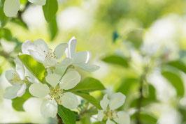 Apfelblüten, Briefkarte