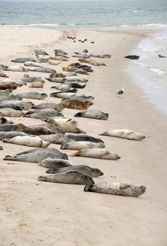 Robben am Strand von Helgoland, Briefkarte