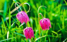 Drei Schachblumen, Briefkarte