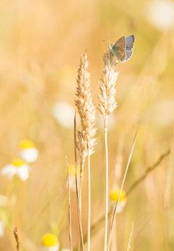 Hauhechel-Bläuling auf einer Getreideähre, Briefkarte