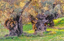 Uralte Olivenbäume auf Mallorca, Briefkarte