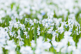 Blühende weiße Puschkinien (Puschkinia scilloides), Briefkarte
