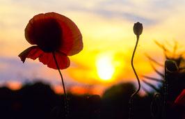 Roter Mohn vor Sonnenuntergang, Briefkarte