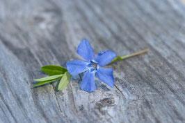 Blüte des Immergrüns, Briefkarte