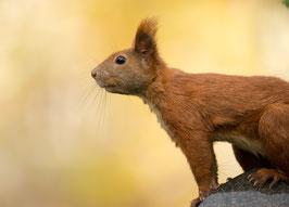 Eichhörnchen-Porträt, Briefkarte