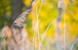 Herbstschilf, Briefkarte