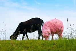 Schwarzes und rosafarbenes Schaf, Briefkarte