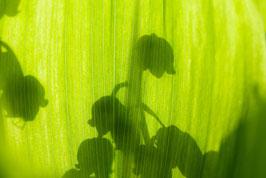 Schatten von Maiglöckchen, Briefkarte