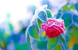 Geknickte blühende Rose im Frost, Briefkarte