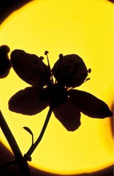 Mirabellenblüte vor der Abendsonne, Briefkarte