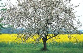 Blühender Apfelbaum, Briefkarte