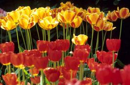 Tulpen in Rot und Gelb, Briefkarte